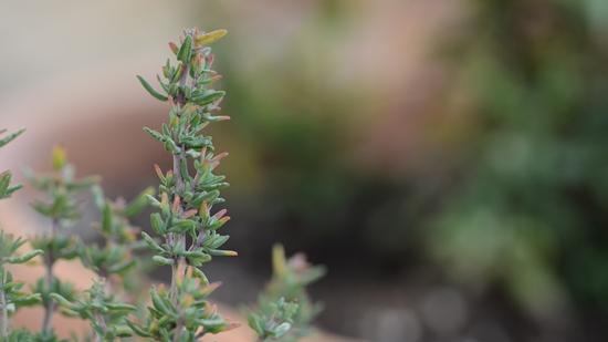 Thymian - Heilpflanze