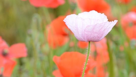 Albino-Klatschmohn: Wildblumen