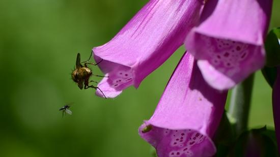 Fingerhut - Waldblume und Heilfpflanze