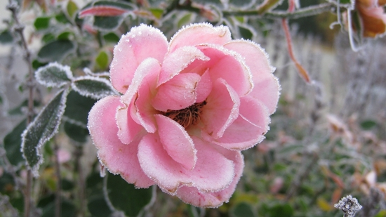 rosa Rose im Winter