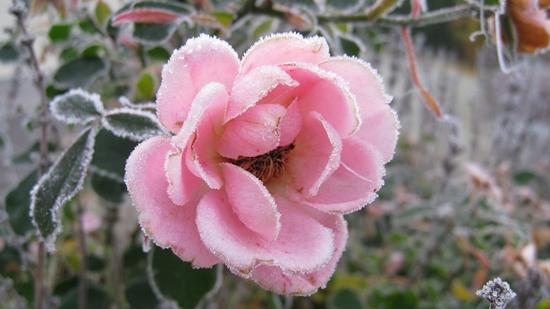 rosa Rose im Winter