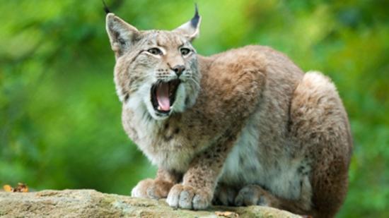 Der Luchs - Wildtier des Jahres 2011
