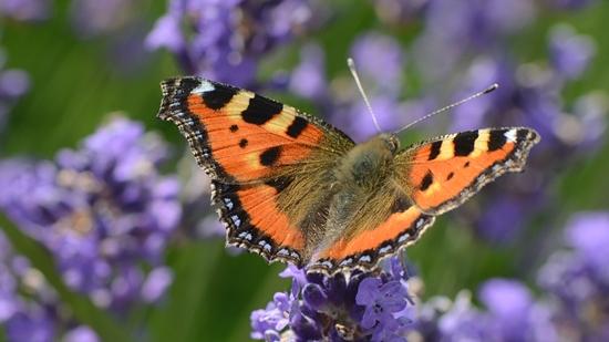Lavendel zieht Schmetterlinge an