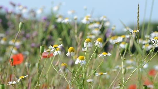 Artenvielfalt auf der Blumenwiese