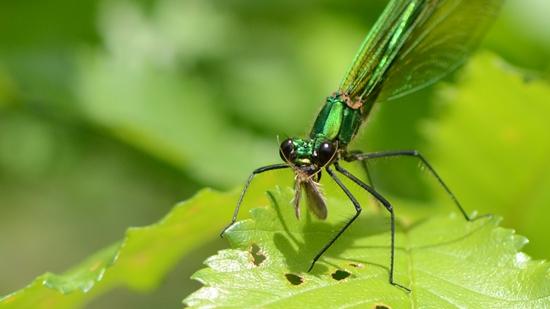 Prachtlibelle beim Vertilgen von Insekten